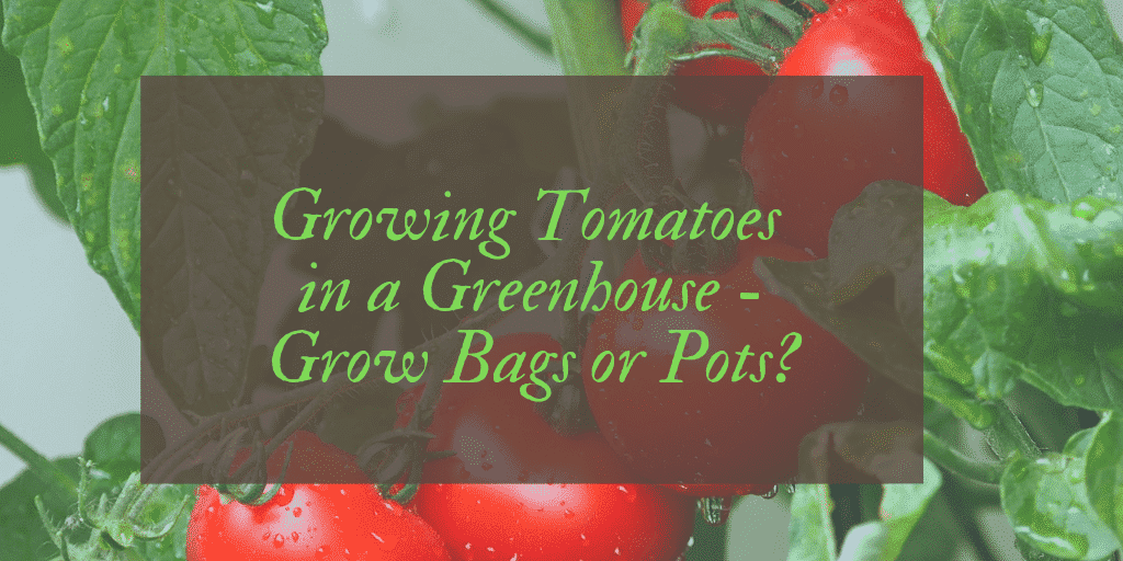 Growing Tomatoes in a Greenhouse -Grow Bags or Pots