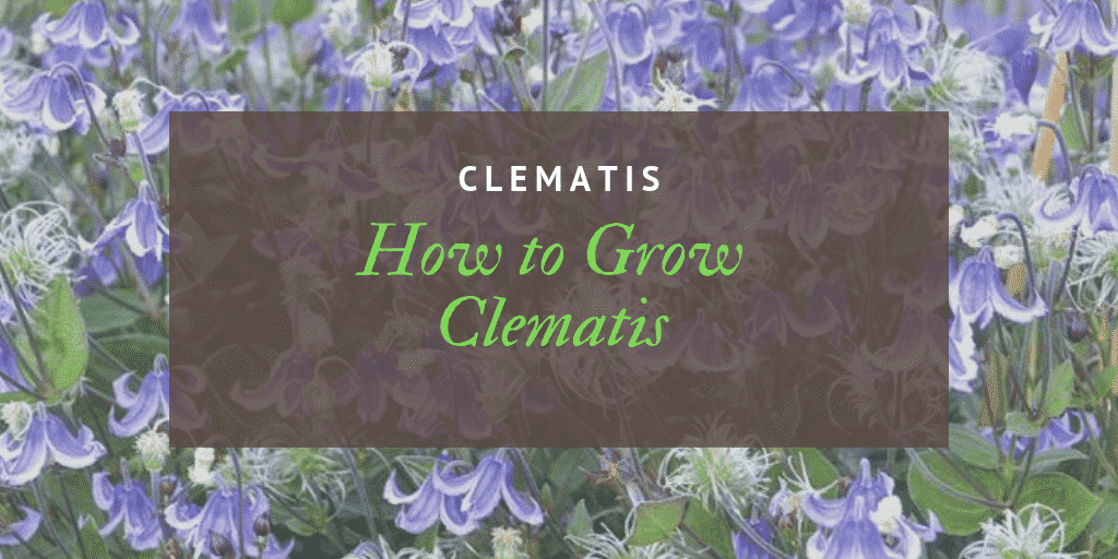 How to Grow Clematis UK