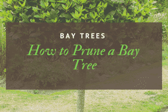 How to Prune a Bay Tree