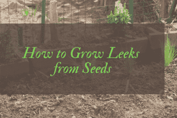 How to grow leeks from seeds