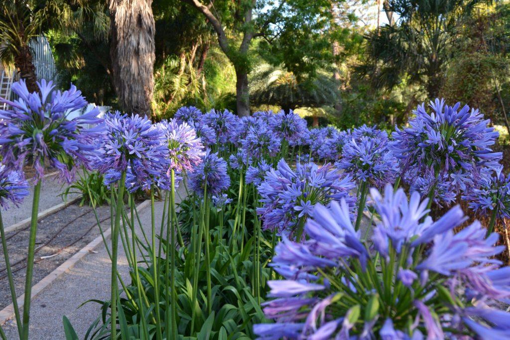 When To Plant Agapanthus Garden Diy Blog