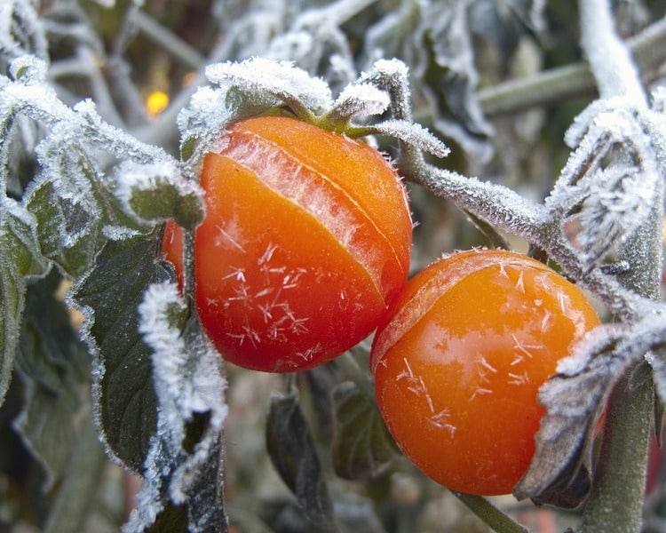 Tomato Frost Dates