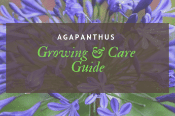 When to Plant Agapanthus