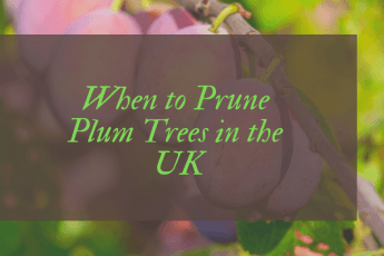 When to Prune Plum Trees in the UK