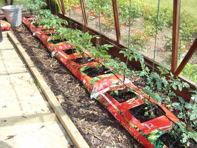 grow bag for tomatoes in a greenhouse