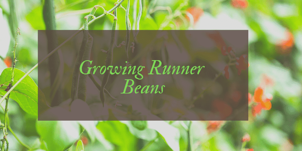 how to grow runner beans UK
