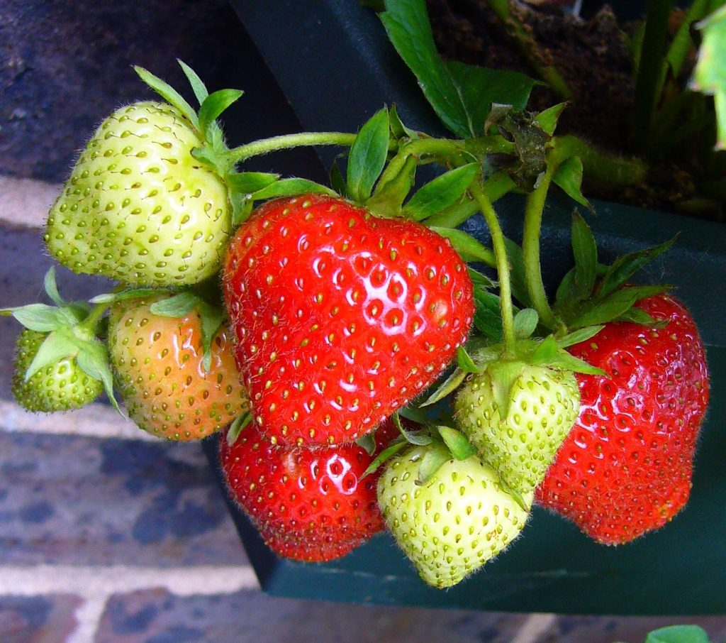 Tips for Caring for Strawberries in Pots