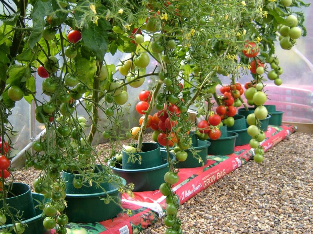 pots for growing tomatoes in greenhouse