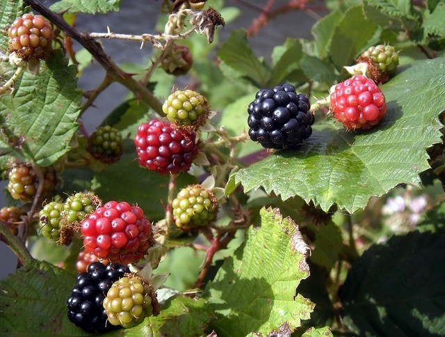 Controlling brambles in UK