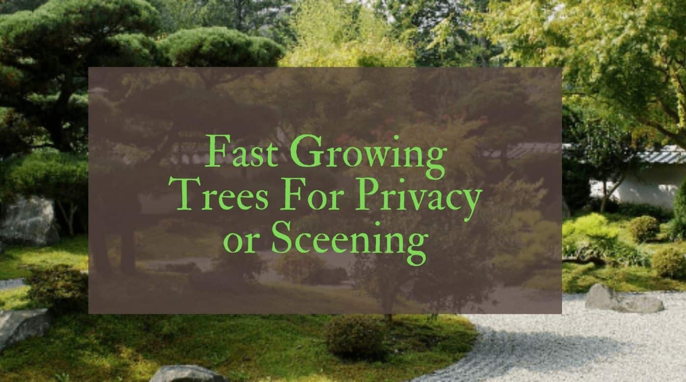 Fast Growing Trees Uk Growing Trees Quickly For Privacy