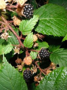 Treat brambles with Weed Killer