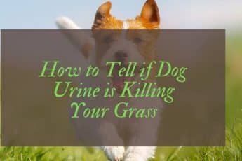 Does Dog Urine Kill Grass