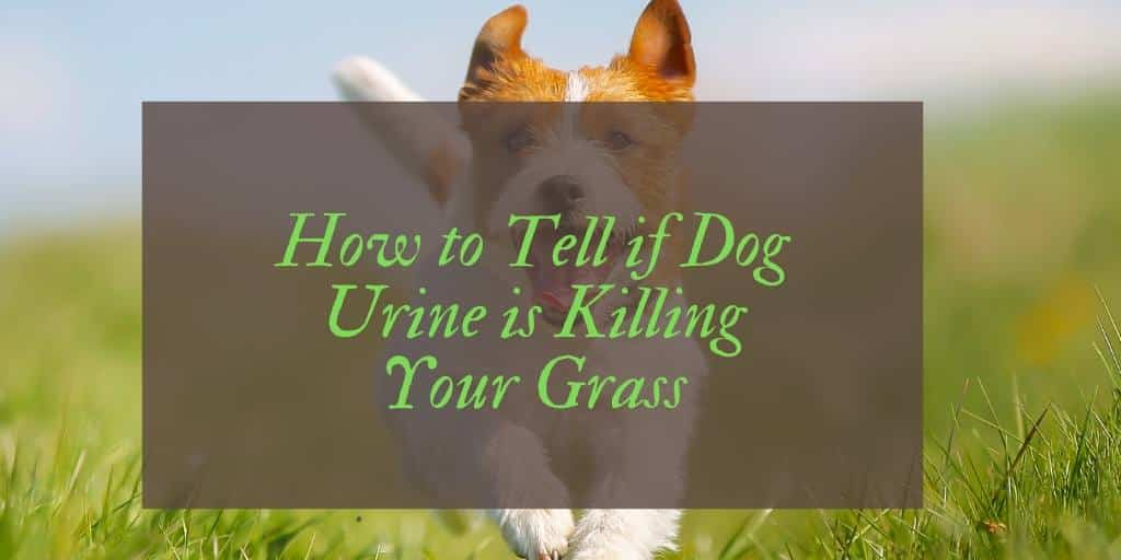 Does Dog Urine Kill Grass?