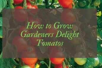 How to grow gardeners delight tomatoes