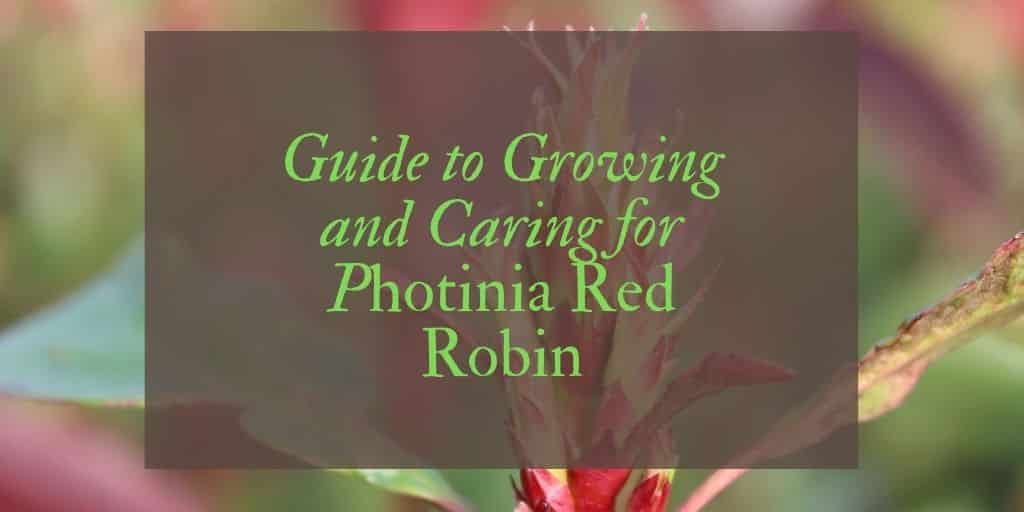 guide to growing and caring for Photinia Red Robin