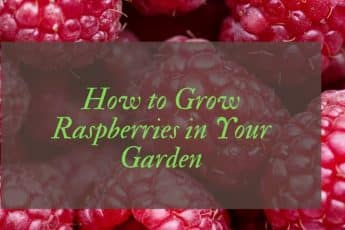how to grow raspberries in containers UK